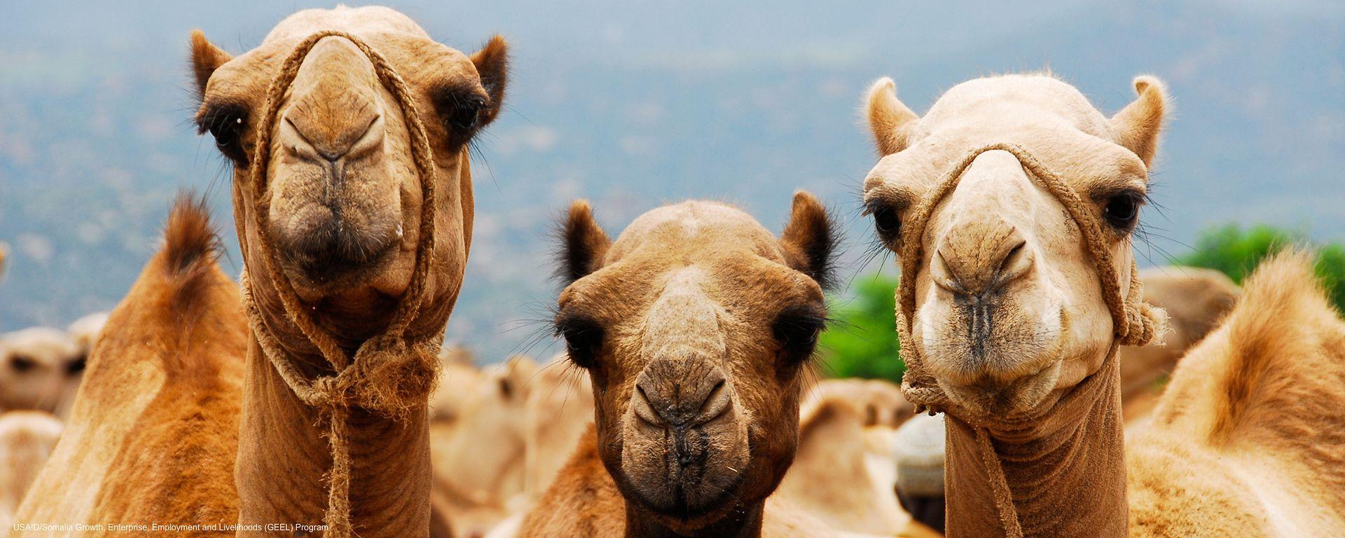 Camel Camels: Facts,